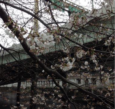 日本橋の桜