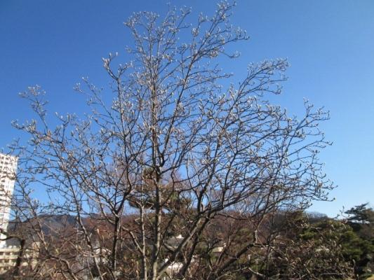 IMG_はく木蓮1573