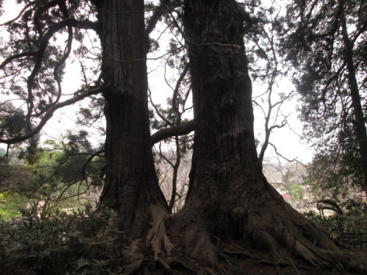 IMG_004巨杉48250