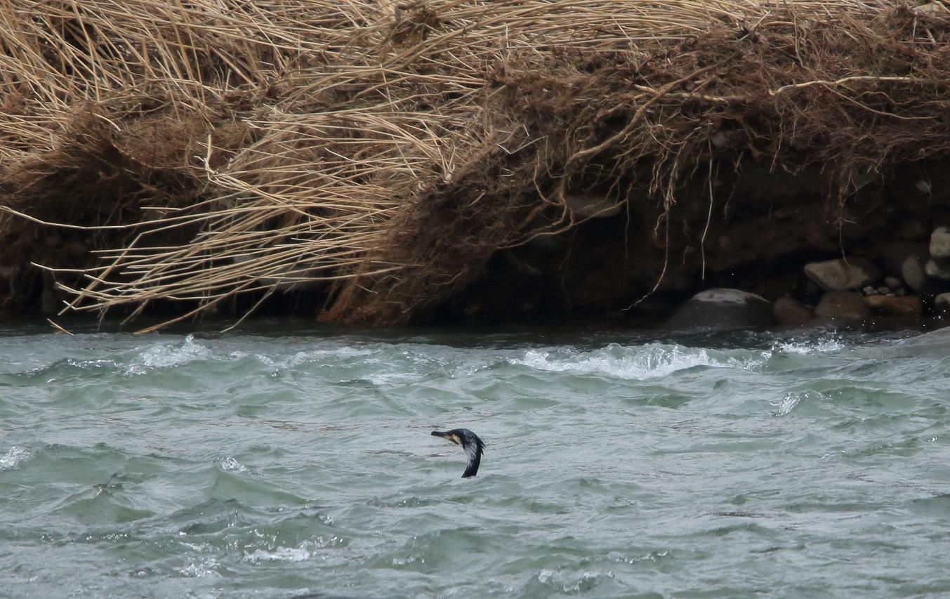 ブログ 川鵜に気を取られ、猛禽ちゃんは何処かへ不明.jpg