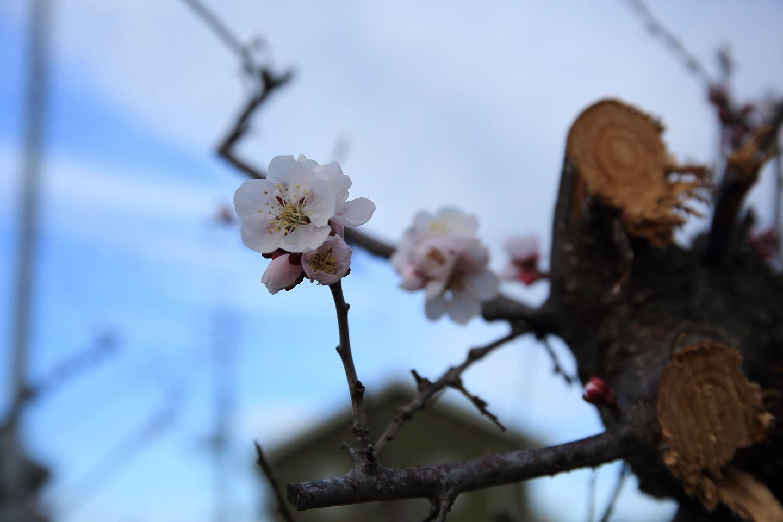 ブログ 辛うじて生き残った梅の花.jpg
