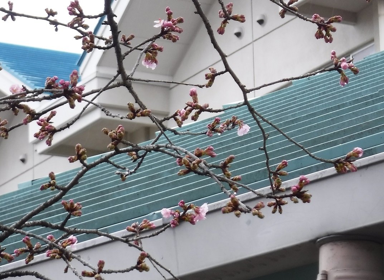ブログ用 2018 3 22 雨 小学校の桜咲く.jpg