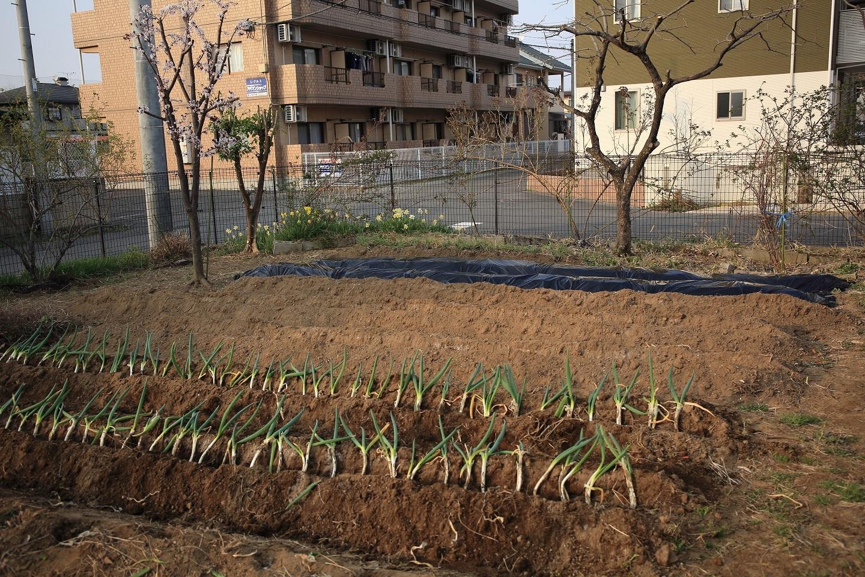 ブログ  4 02 夕方の斜光の中の今日の菜園の作業結果.jpg