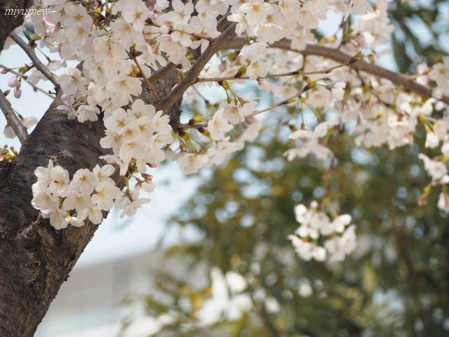 桜ソメイヨシノ180325