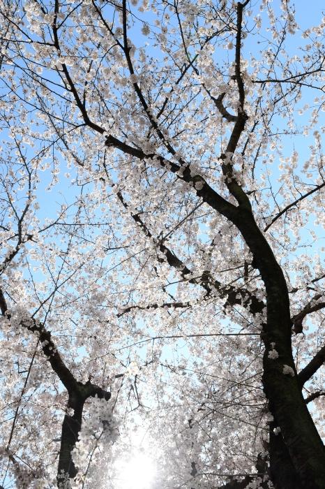 DSC_2318-001桜