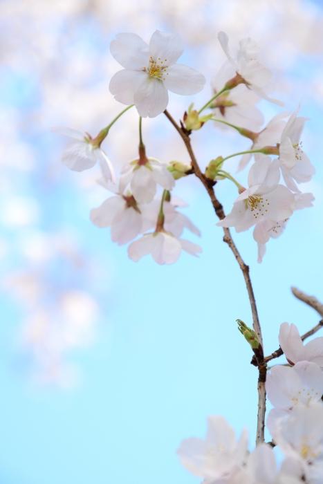 DSC_2329-001桜