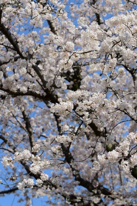 DSC_2603-001桜