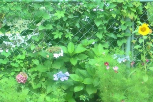 IMG_0640 (2) 夏の花