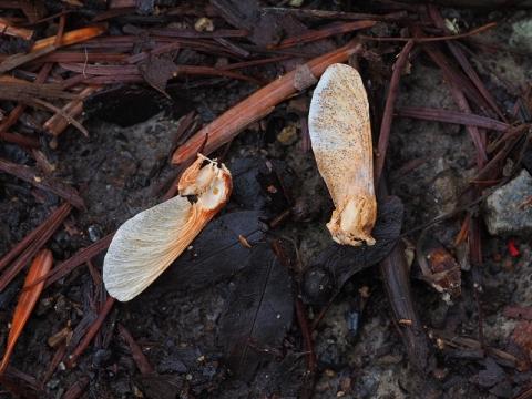 モミジ種子食痕180309