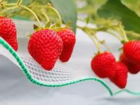 img_strawberryfarm.jpg