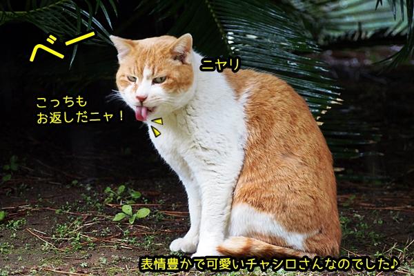 ペロペロ 茶白猫さん