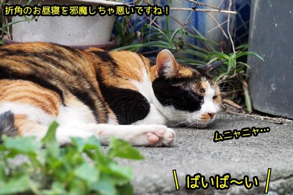 三毛猫 お昼寝