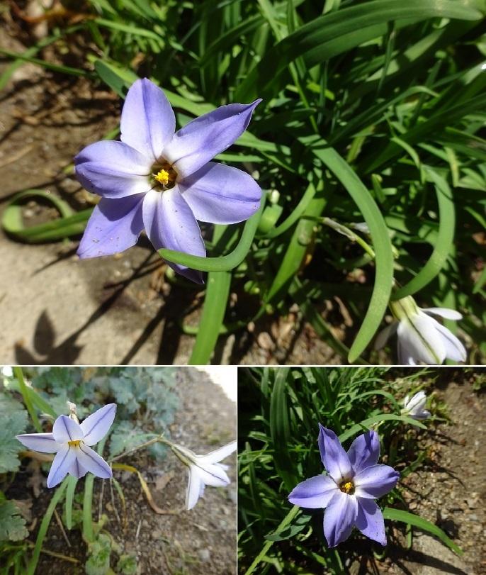 ニラの花3