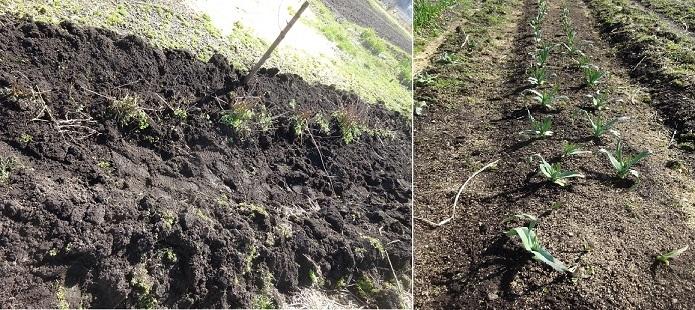 菊の植え替えとニンニク