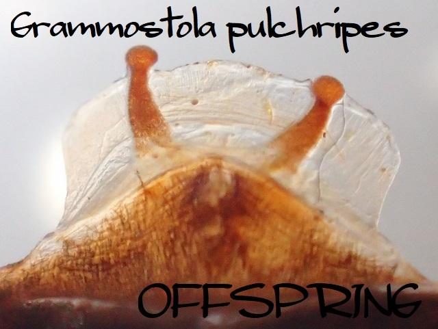 Grammostola pulchripes 0655288