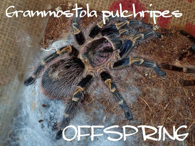 Grammostola pulchripes 0655287