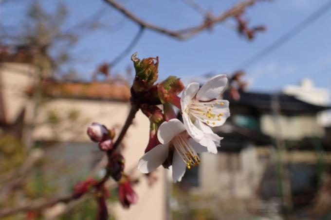 桜開花(地植1)