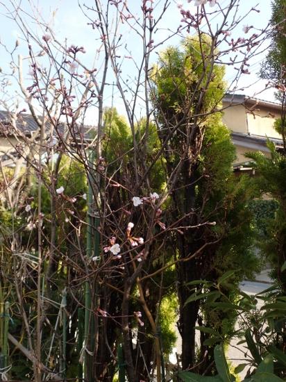 桜開花(地植2)