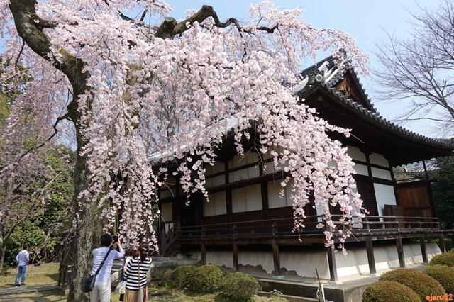 20180325 醍醐寺 桜 (9)