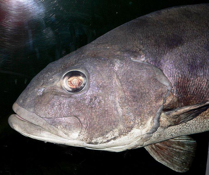 【日本海】巨大な深海魚「オオクチイシナギ」が鳥取沖で網にかかる!