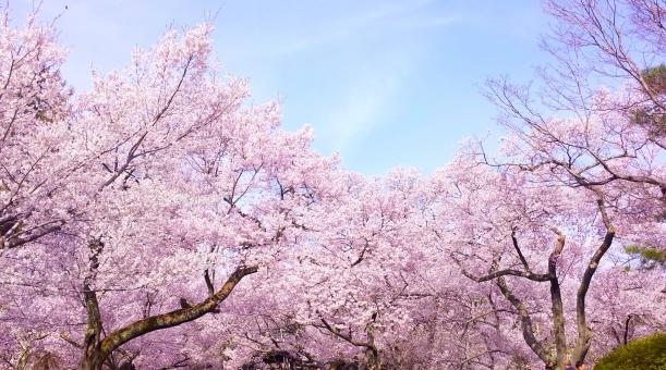 【温暖化】今年の「桜」…記録的な早さで満開に