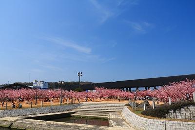 20180312_萩しーまーと親水公園の河津桜IMG_5764