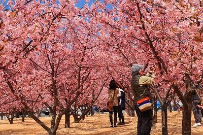 20180312_萩しーまーと親水公園の河津桜IMG_5732