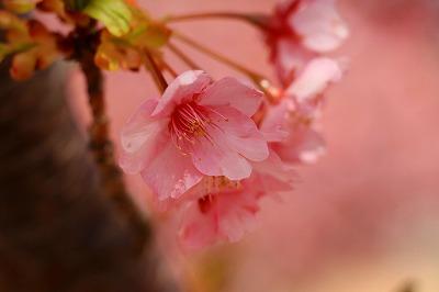 20180312_萩しーまーと親水公園の河津桜IMG_5722L
