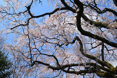 20180324_宝珠寺の姫枝垂れ桜IMG_7001