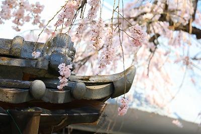20180324_宝珠寺の姫枝垂れ桜IMG_7021