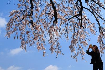 20180324_宝珠寺の姫枝垂れ桜IMG_7025