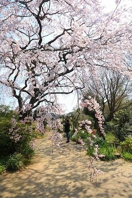 20180324_宝珠寺の姫枝垂れ桜IMG_7009