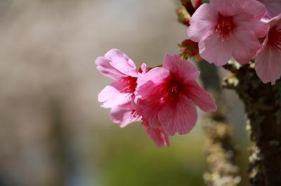 20180328_甘木公園でお花見IMG_2286