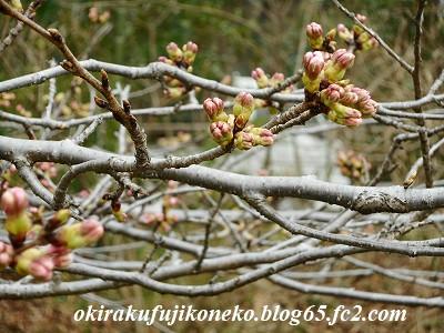319桜1