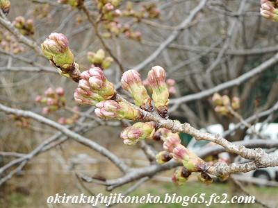 319桜2