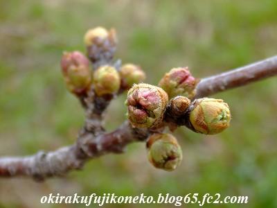 319桜3