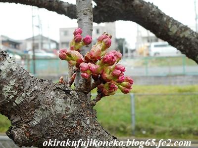 319桜4