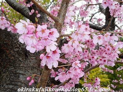 319早桜2