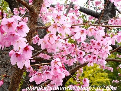 319早桜3