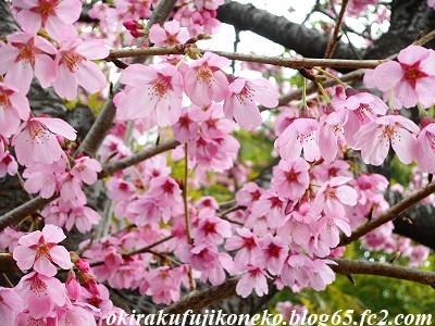 319早桜4