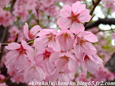 319早桜5