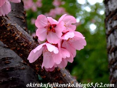 319早桜6