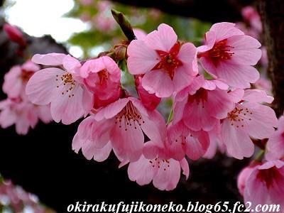319早桜7