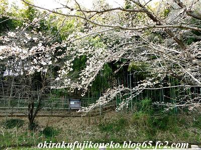 323桜3