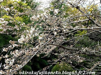 323桜4