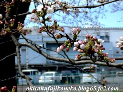 323桜6