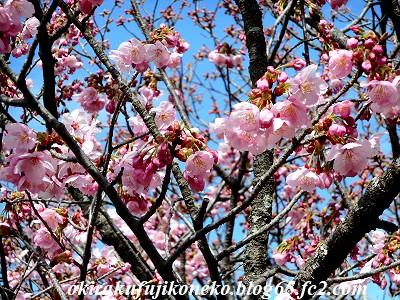 323桜ピンク3