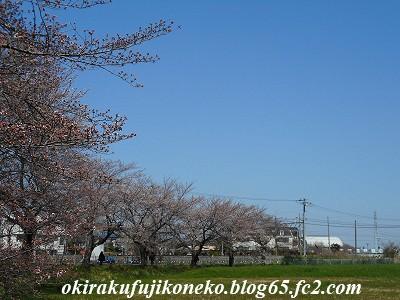 325桜1