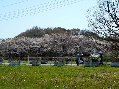 325桜2