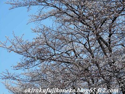 325桜4